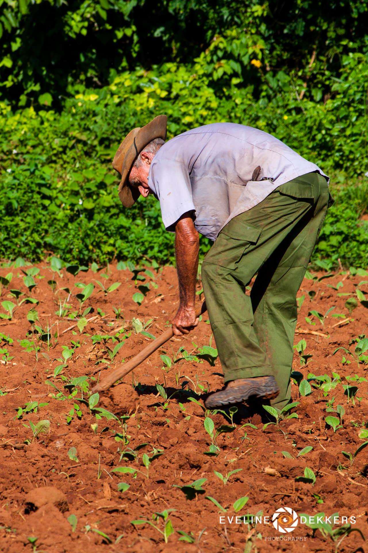 tobacco-field-cuba