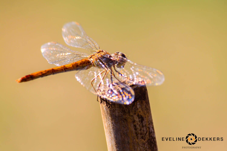 Dragonfly - Australia