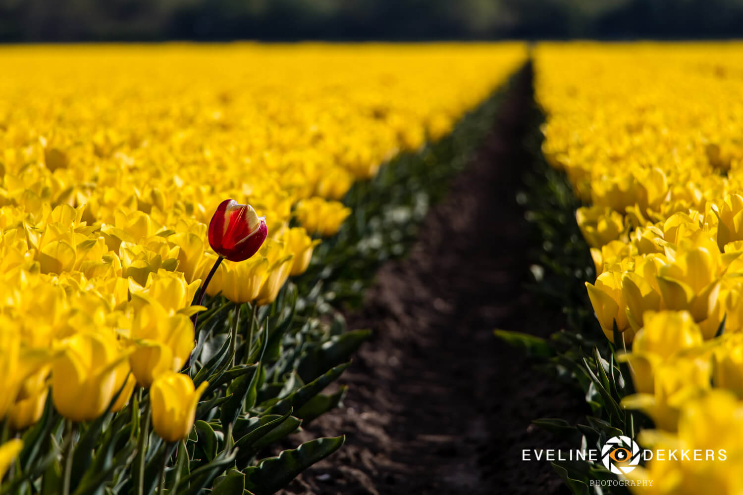 Red or yellow - The Netherlands