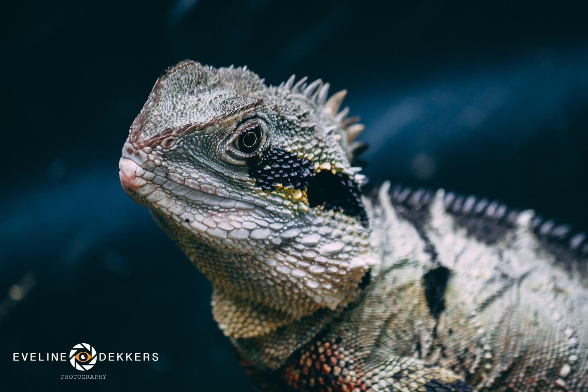 water-dragon-australia