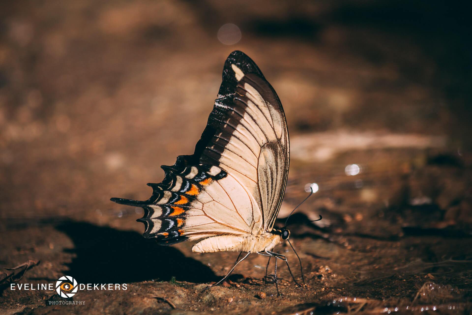 butterfly-cuba