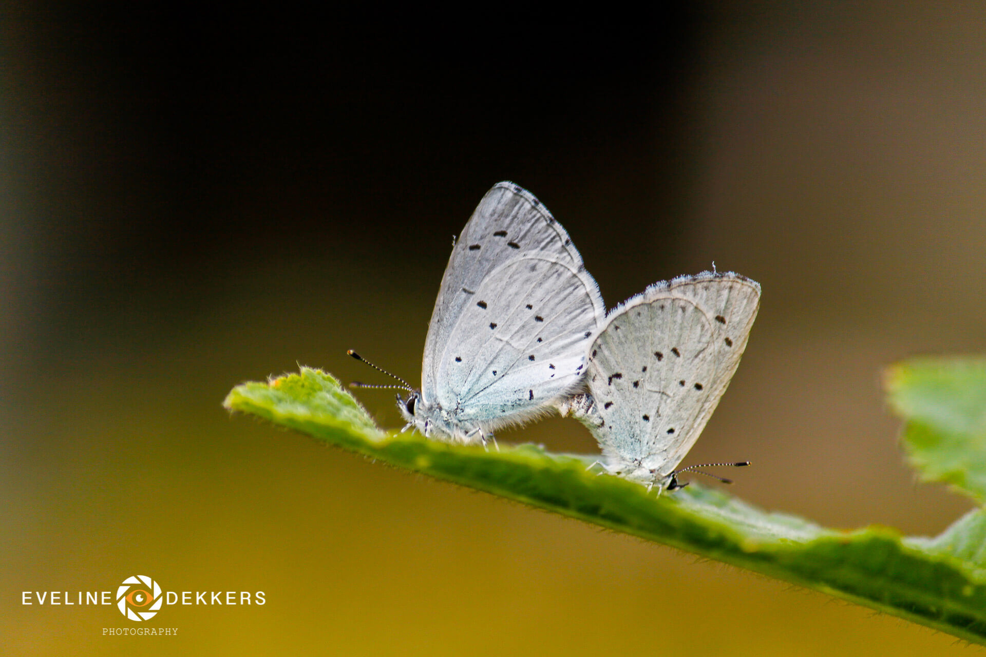 mating-holly-blues